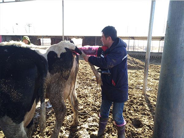 河北沧州青县金源牧场牛用B超培训