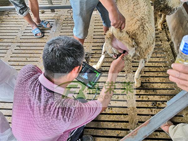 羊场羊用B超